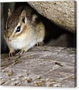 Chipmunk In Danger Canvas Print