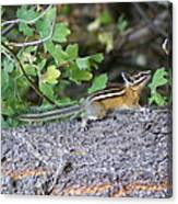Chipmunk On A Log Canvas Print