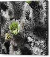 Cholla Blossoms Canvas Print