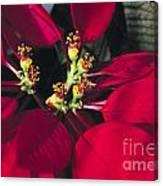 Christmas Flower Canvas Print