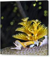Christmas Tree Worm In Raja Ampat Canvas Print
