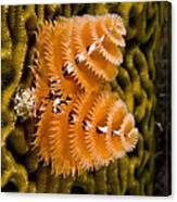 Christmas Tree Worm Spirobranchus Canvas Print
