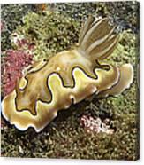 Chromodoris Coi Beige Nudibranch Canvas Print