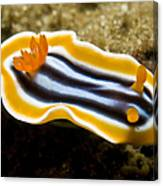 Chromodoris Magnifica Nudibranch Canvas Print