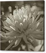 Chrysanthemum In Bloom Canvas Print