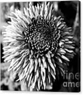 Chrysanthemum In Monochrome Canvas Print