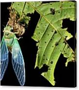 Cicada Emerging From Chrysalis Canvas Print