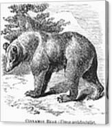 Cinnamon Bear Canvas Print