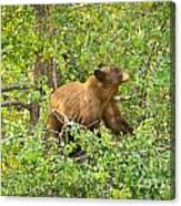 Cinnamon Black Bear Limited Edition Canvas Print
