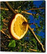 Citrus In The Tree Canvas Print