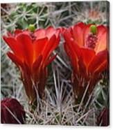 Claret Cup Duo Canvas Print