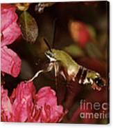 Clear Wing Hummingbird Moth 1 Canvas Print