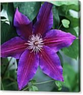 Clematis 'barbara Jackman' Flower Canvas Print