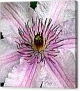 Spectacular Pink Clematis Canvas Print