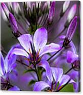 Cleome - Rose Queen Canvas Print