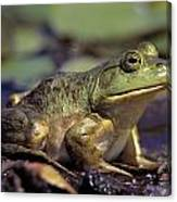 Close-up Of A Bullfrog Canvas Print