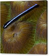 Close-up Of A Goby On Coral, Belize Canvas Print