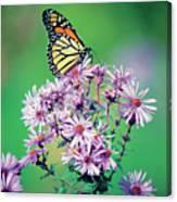 Close-up Of A Monarch Butterfly (danaus Plexippus ) On A Perennial Aster Canvas Print