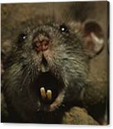 Close Up Of A Rats Fast-growing Teeth Canvas Print