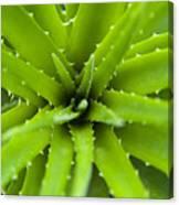 Close-up Of Aloe Plant, Atlantic Forest, Ilha Do Mel, Parana, Brazil Canvas Print