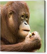 Close-up Of An Orangutan Pongo Pygmaeus Canvas Print