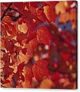 Close-up Of Autumn Leaves Canvas Print