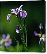 Close-up Of Blue Flag Irises Iris Canvas Print