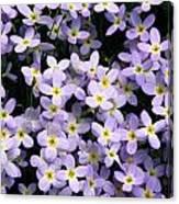 Close-up Of Bluet Flowers Houstonia Canvas Print