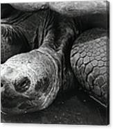 Close-up Of Galapagos Giant Tortoise Canvas Print
