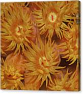Close-up Of Orange Cup Coral Canvas Print
