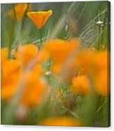 Close Up Of Orange Poppy Flowers Canvas Print