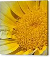 Close Up Of The Inside Of A Yellow And White Sun Flower Canvas Print