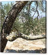 Close Up Olive Tree Canvas Print