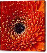 Close Up Orange Mum Canvas Print