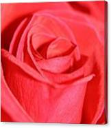 Close-up Rose Canvas Print
