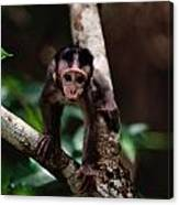 Close View Of A Baby Macaque Canvas Print