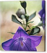 Close View Of A Balloon Flower In Bloom Canvas Print