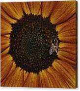 Close View Of A Bee On A Sunflower Canvas Print