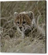 Close View Of A Juvenile Cheetah Canvas Print