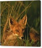 Close View Of A Red Fox At Rest Canvas Print