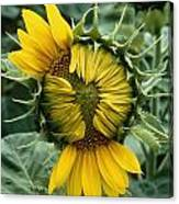 Close View Of A Sunflower Blossom Canvas Print