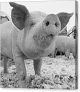 Close View Of A Young Pig In A Snowy Canvas Print