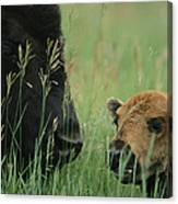 Close View Of An American Bison Canvas Print