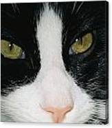 Close View Of Black And White Tabby Cat Canvas Print