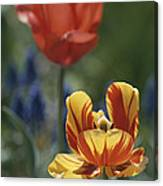 Close View Of Blossoming Tulips Canvas Print