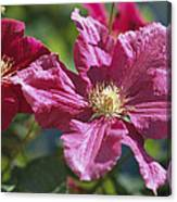 Close View Of Clematis Flowers Canvas Print
