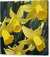 Close View Of Early Spring Daffodils Canvas Print