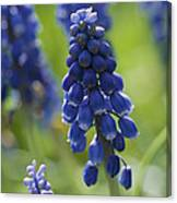 Close View Of Grape Hyacinth Flowers Canvas Print