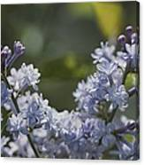 Close View Of Hyacinth Lilacs Syringa Canvas Print
