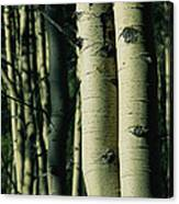 Close View Of Several Aspen Tree Trunks Canvas Print